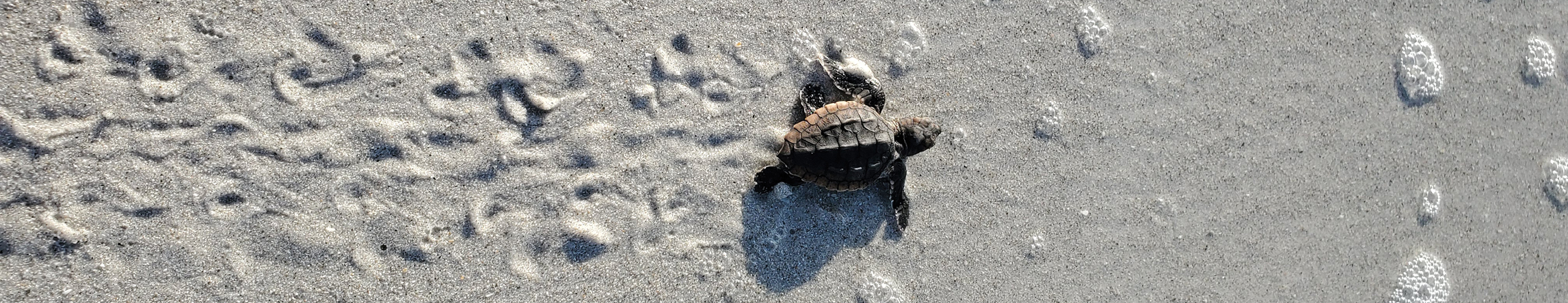 SCCF-Sea-Turtle-Img-Section-1-Mobile