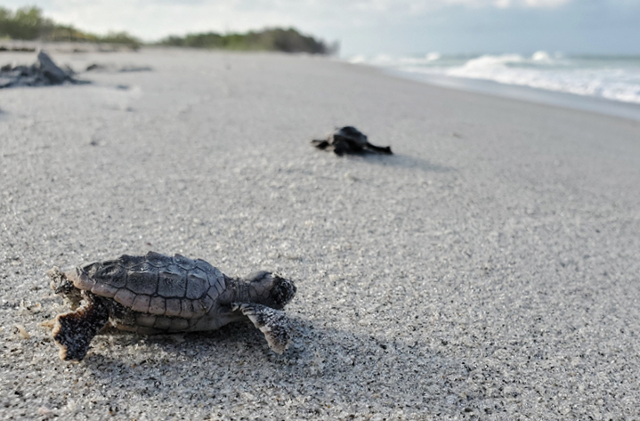 SCCF-Sea-Turtle-Img-Section-3