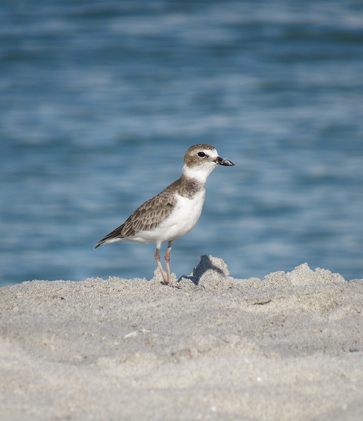 SCCF-Shorebird-Img-Section-1-2